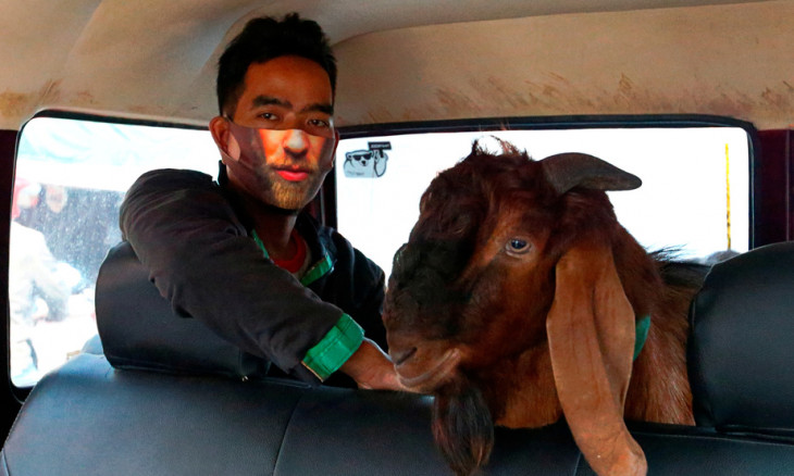 A man wearing a protective face mask is pictured with a goat inside a car