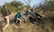 Veterinarians attend to a tranquillised rhino before it is dehorned, amid mounting fears of a rebound in rhino poaching