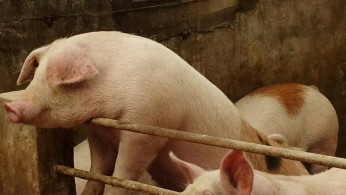 China pig production