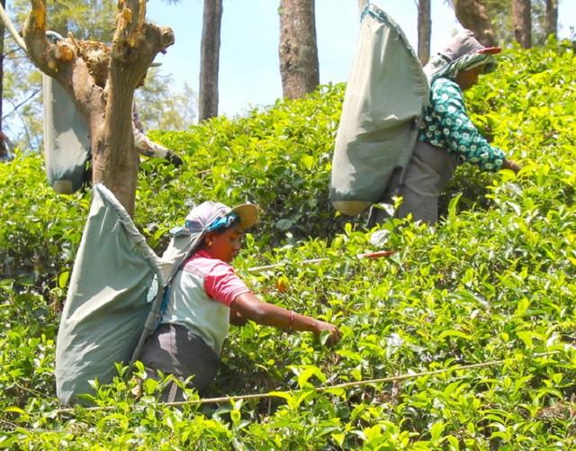 China Tea Industry