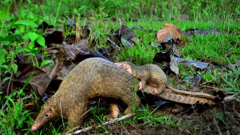 An adult Philippine Pangolin and her pup photographed in the forests of Palawan by Gregg Yan