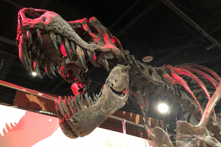 The skeleton of a Tyrannosaurus rex, the large meat-eating dinosaur that lived in western North America