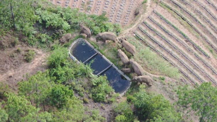 A herd of 15 wild elephants has trekked hundreds of kilometres after leaving their forest habitat in Xishuangbanna National Nature Reserve
